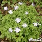 Anemone blanda