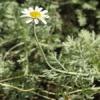 Anthemis punctata