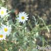 Argyranthemum sp.
