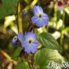 Browallia americana
