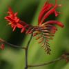 Crocosmia sp.