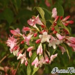 Weigela japonica