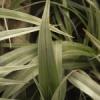 Astelia chathamica