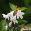 Abelia schumannii