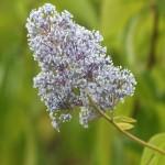 Ceanothus x delileanus