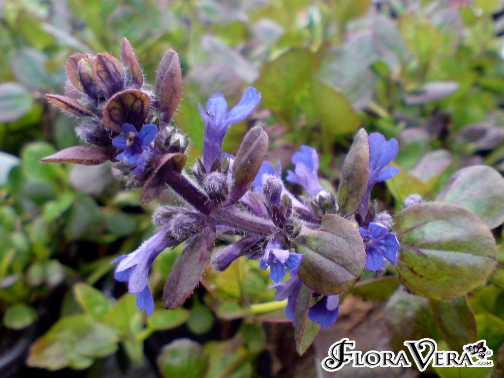 Ajuga Reptans 171 Floravera