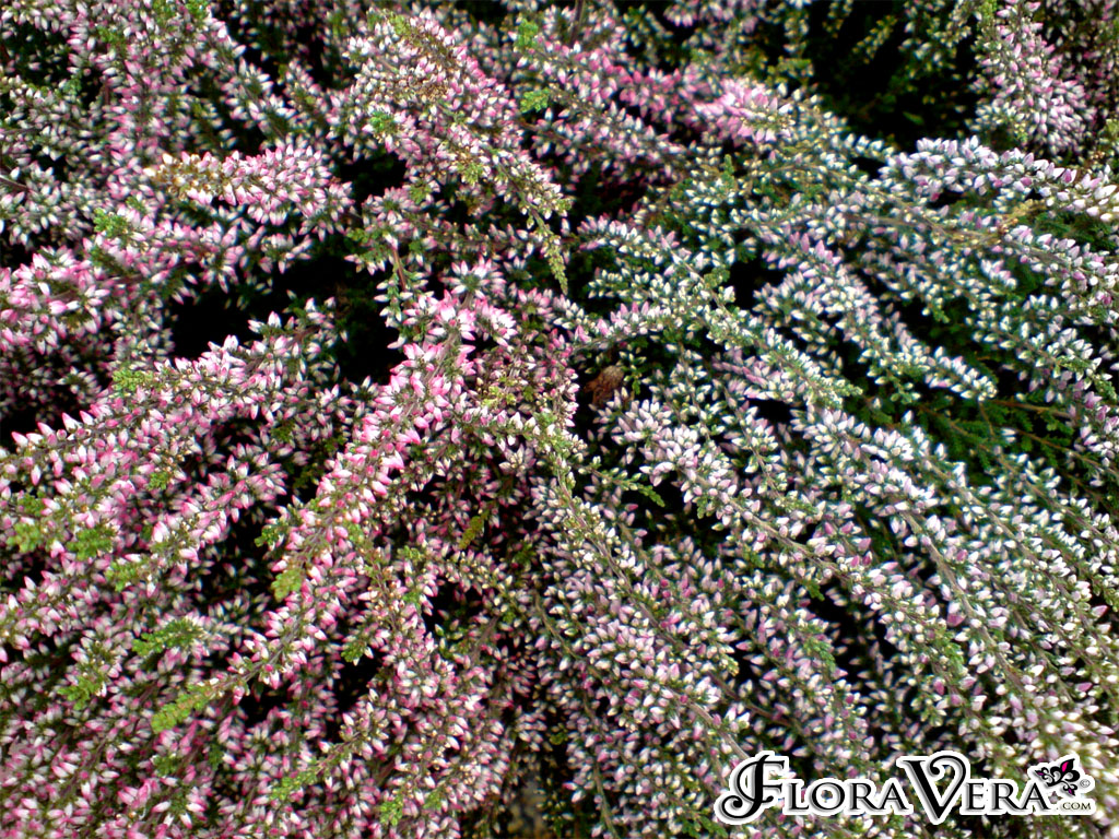 Calluna Vulgaris 171 Floravera