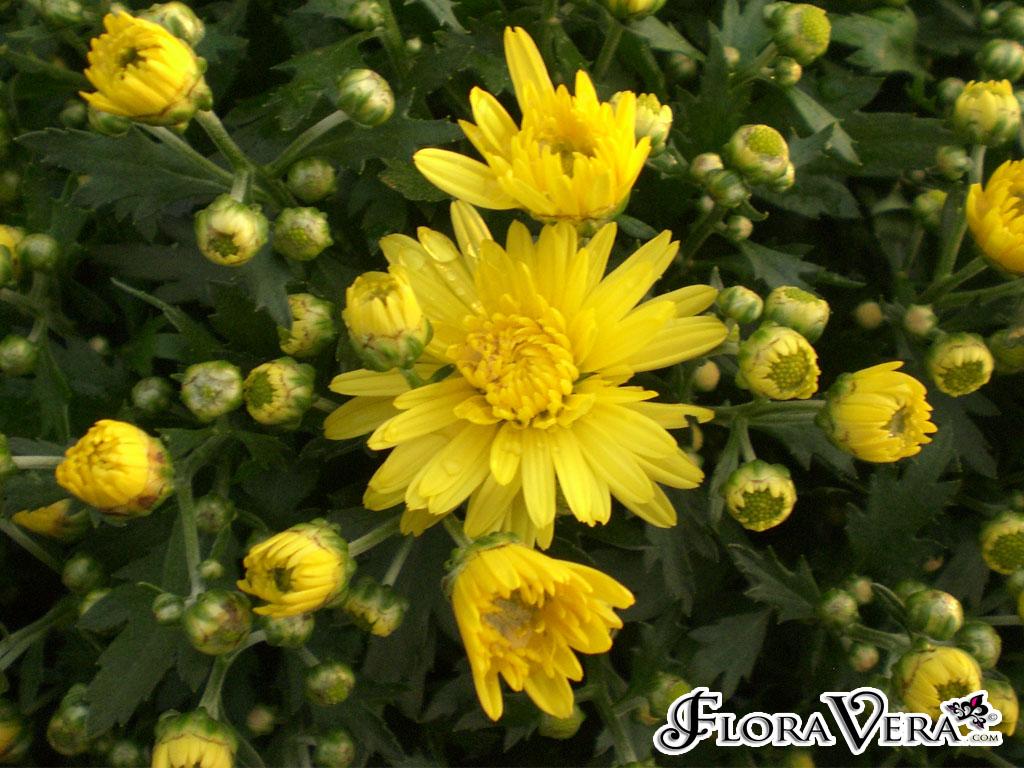 chrysanthemum x morifolium - photo #29
