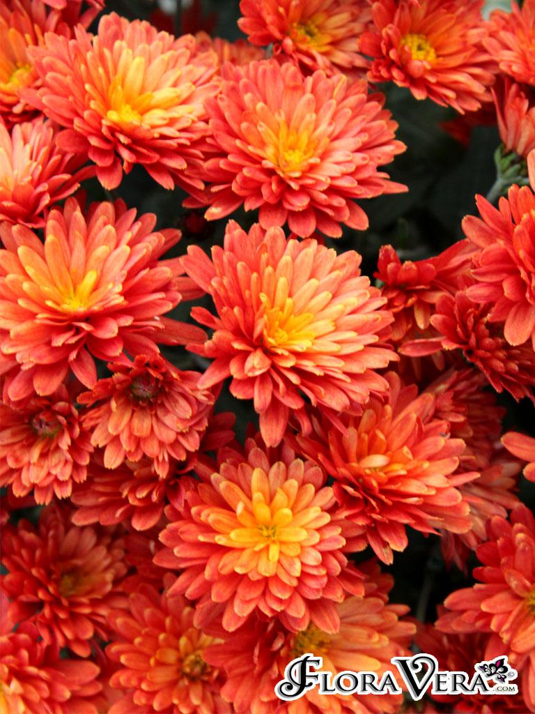Chrysanthemum Morifolium 171 Floravera