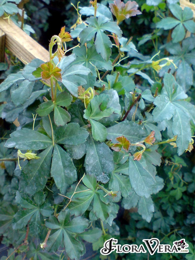 Cissus Striata 171 Floravera