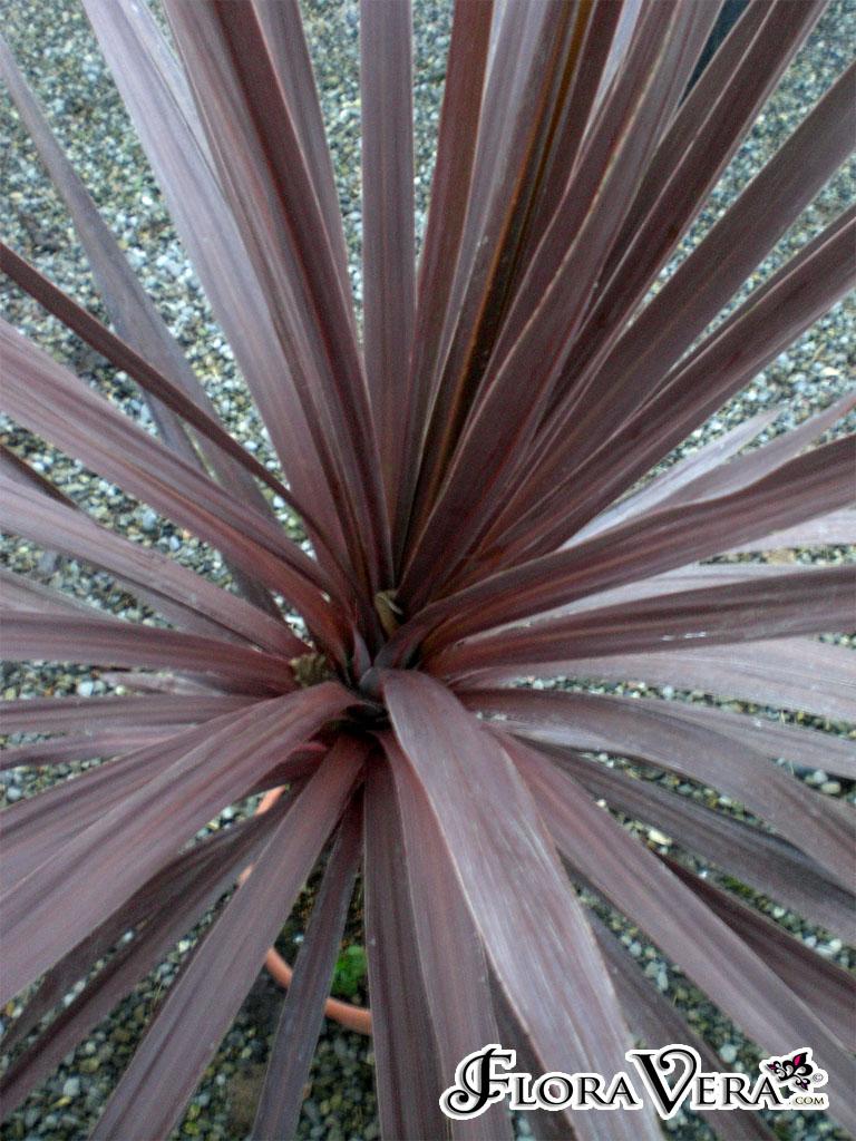 Cordyline Australis 171 Floravera