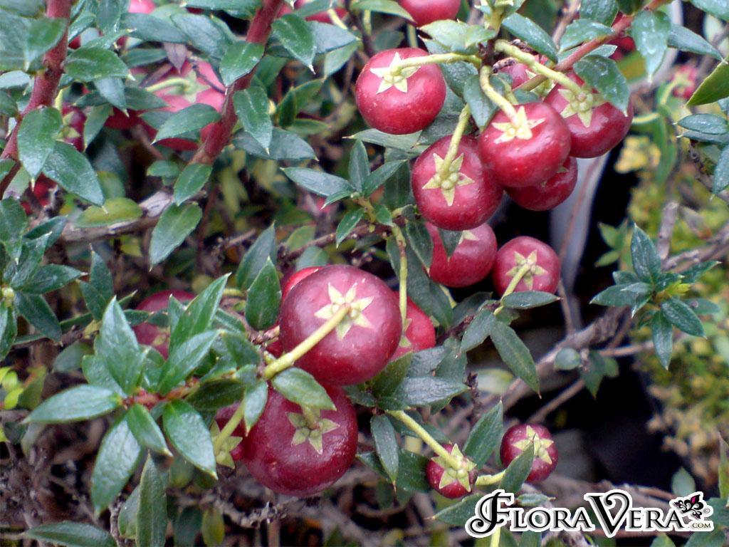 Gaultheria Mucronata 171 Floravera
