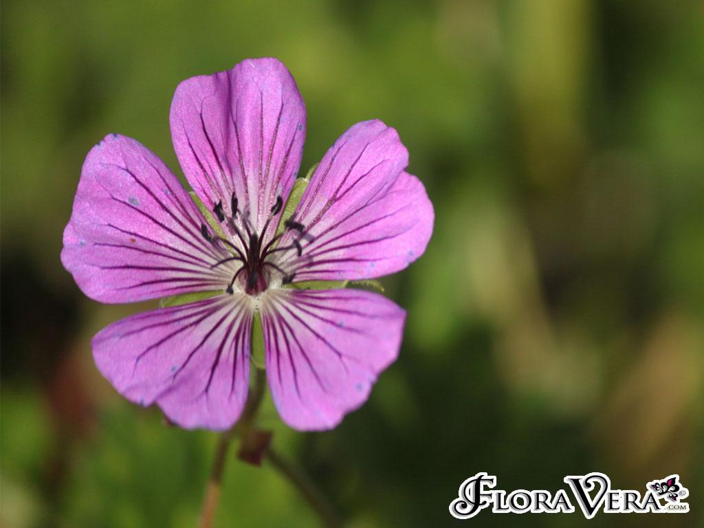 Geranium Sp   U00ab Floravera