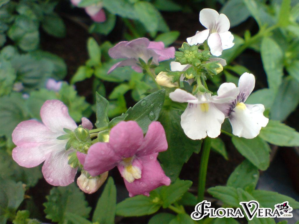 Nemesia Caerulea 171 Floravera