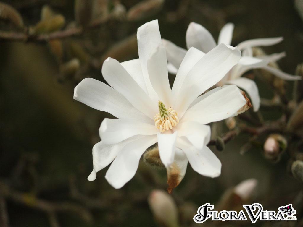 magnolia stellata floravera. Black Bedroom Furniture Sets. Home Design Ideas