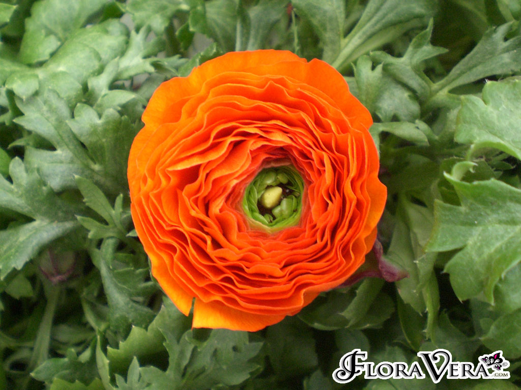 Ranunculus Asiaticus  U00ab Floravera