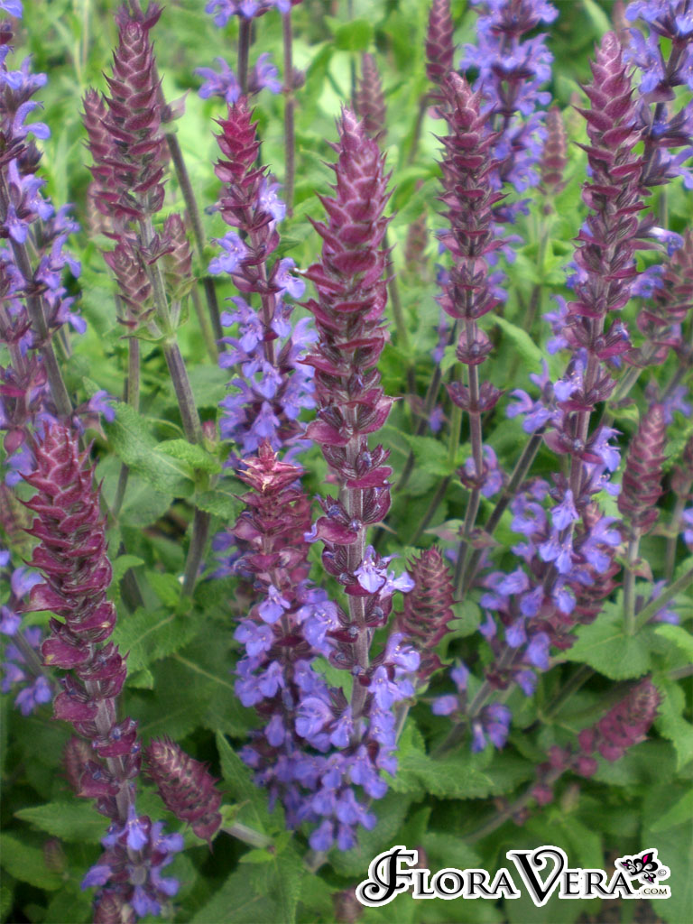 Salvia Nemorosa 171 Floravera