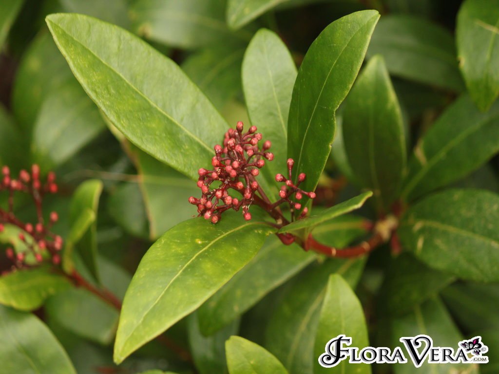 Skimmia Japonica 171 Floravera