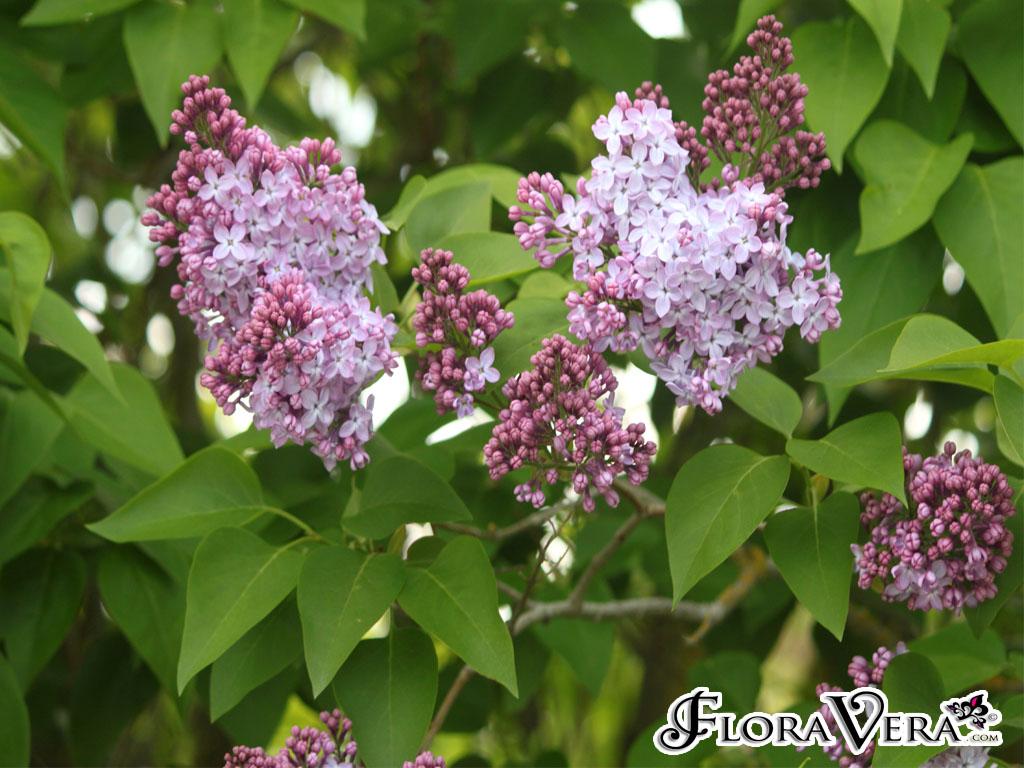 Syringa vulgaris floravera - Syringa vulgaris ...