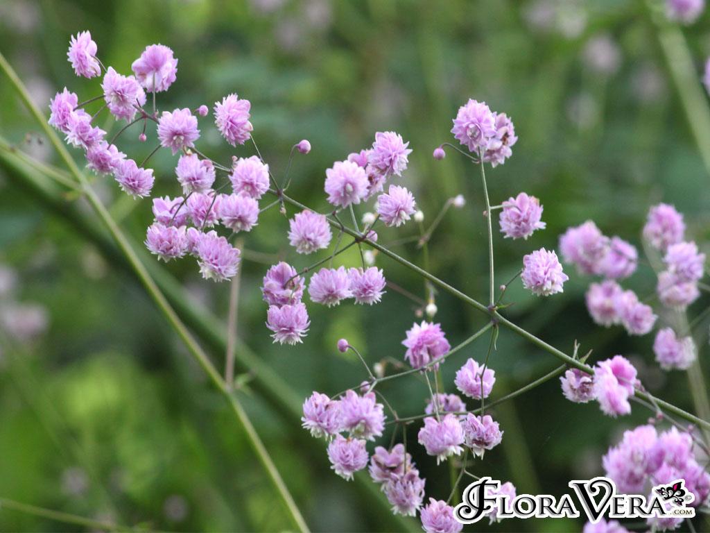 thalictrum delavayi  u00ab floravera