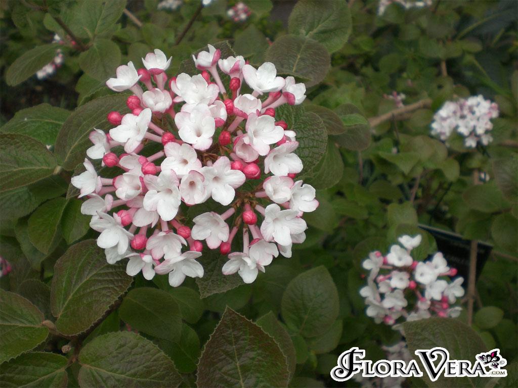 Viburnum Carlesii  U00ab Floravera