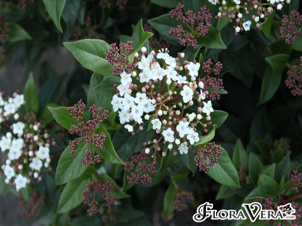 viburnum tinus  u00ab floravera