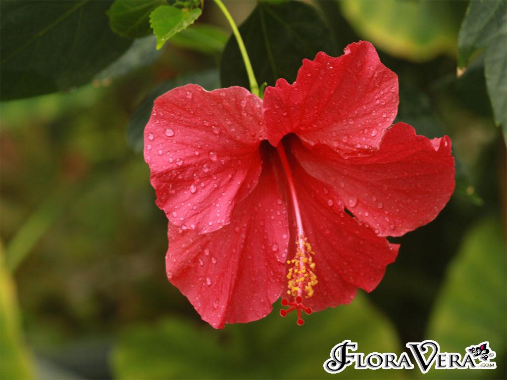 hibiscus rosa sinensis floravera. Black Bedroom Furniture Sets. Home Design Ideas