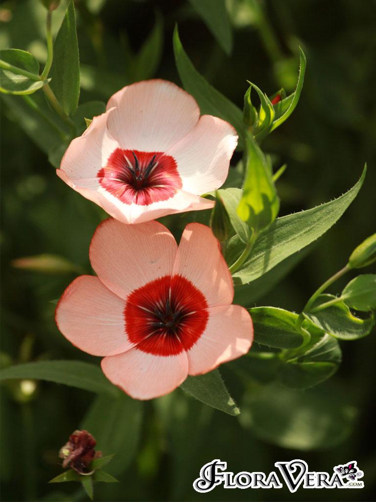 linum grandiflorum  u00ab floravera