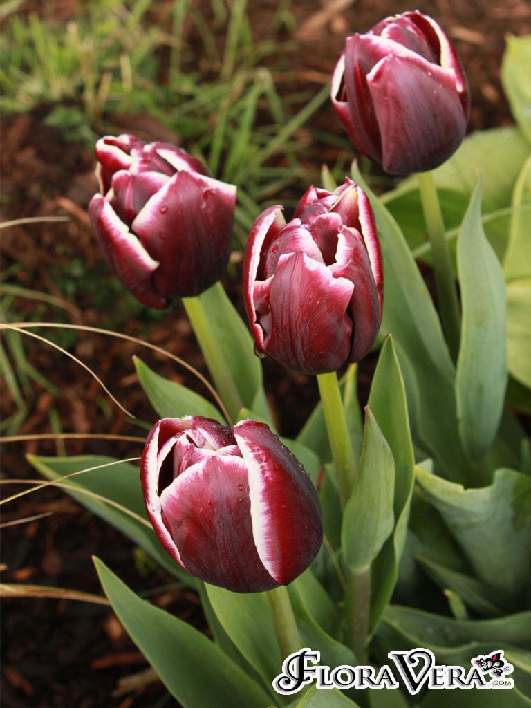Tulipa sp Floravera
