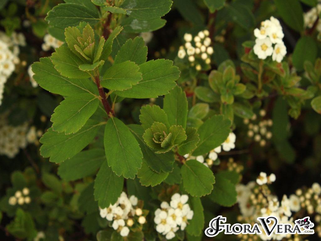 Spiraea Nipponica  U00ab Floravera
