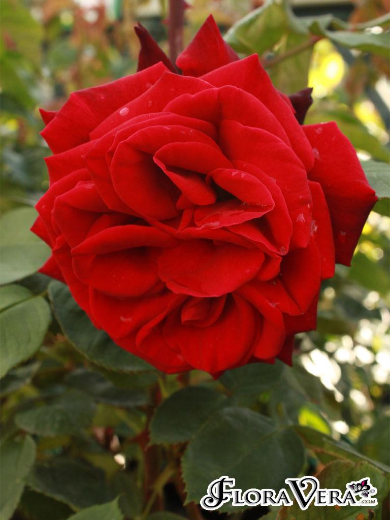 Rosa Sp 171 Floravera