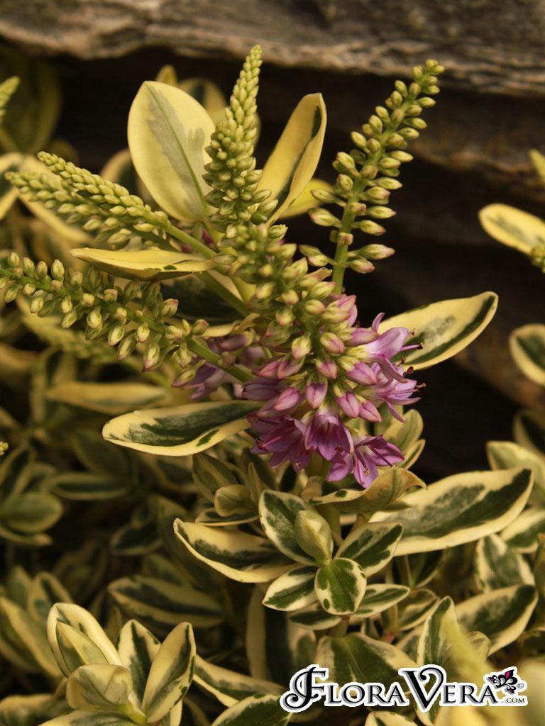 Hebe x andersonii « Floravera