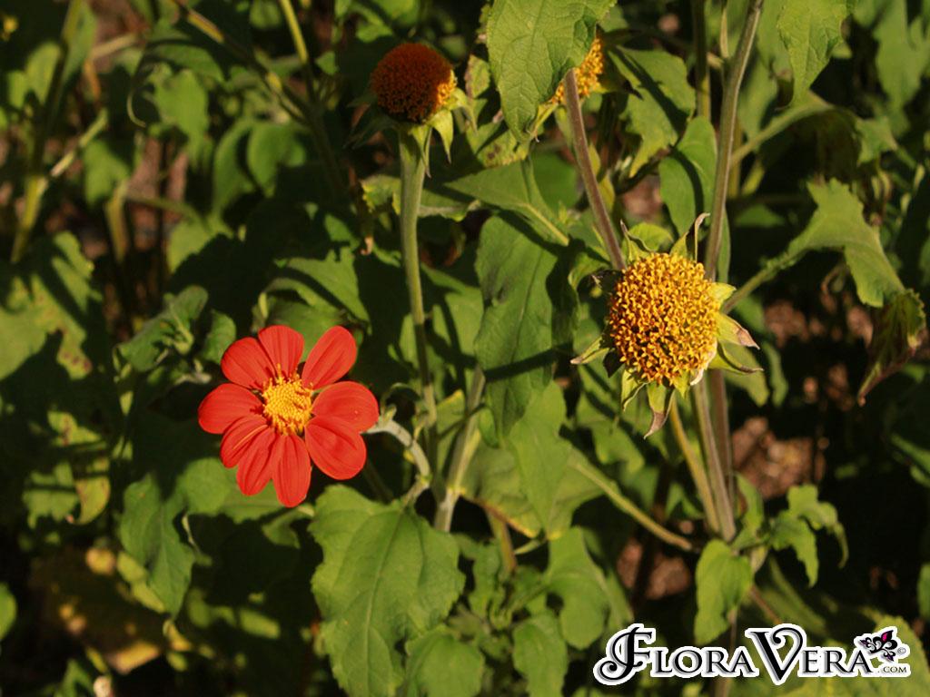Tithonia Rotundifolia 171 Floravera