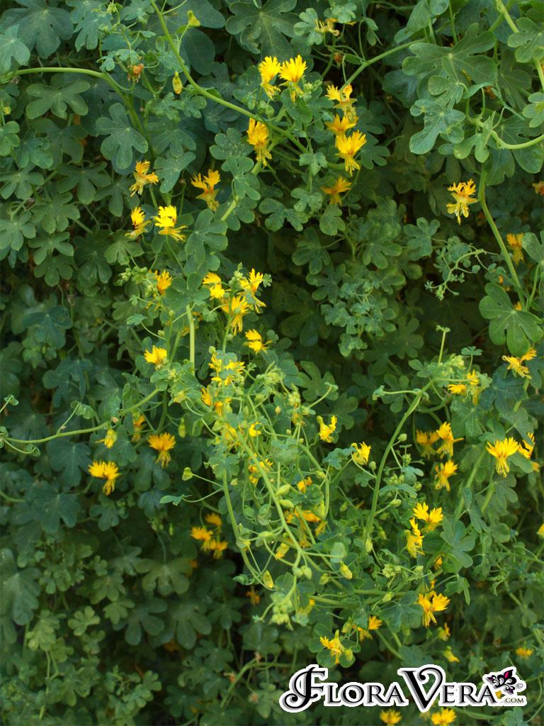 tropaeolum peregrinum floravera