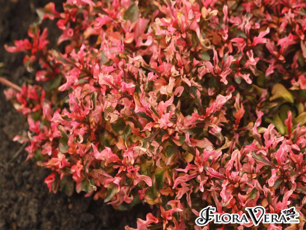 Alternanthera Ficoidea 171 Floravera