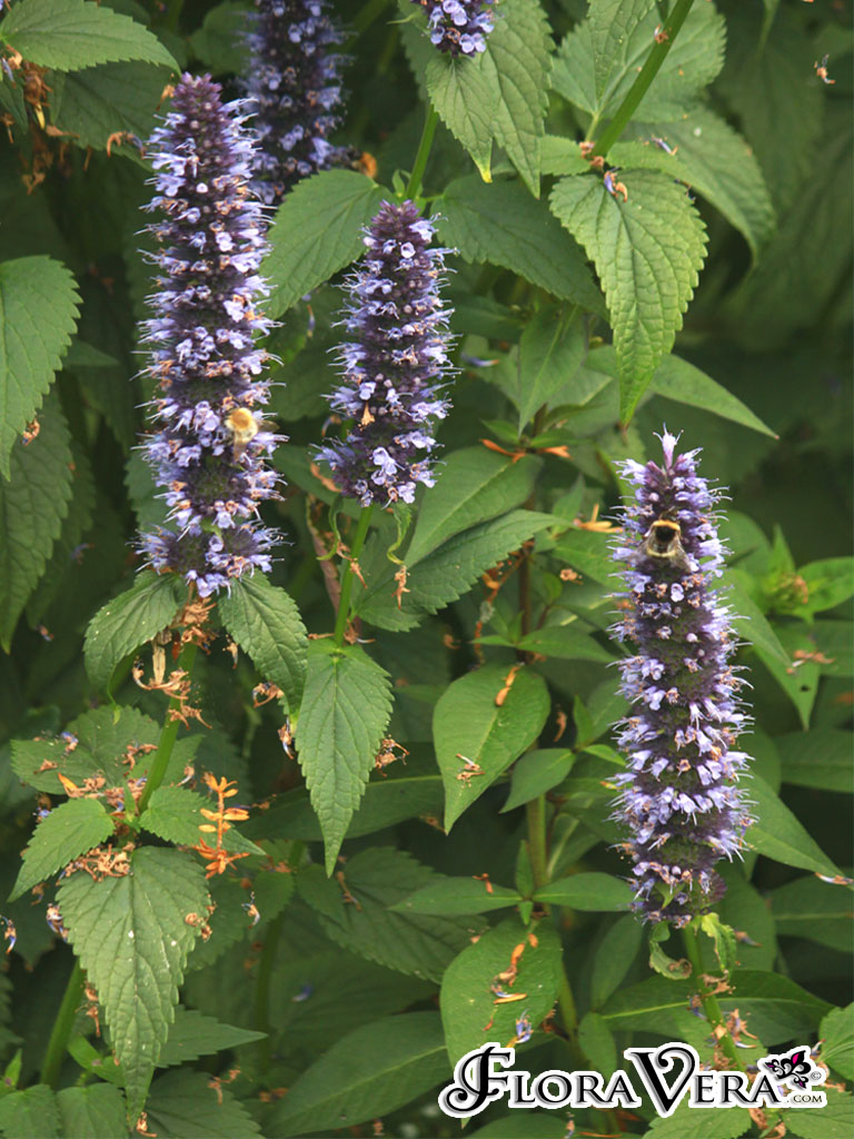 Agastache Scrophulariifolia 171 Floravera