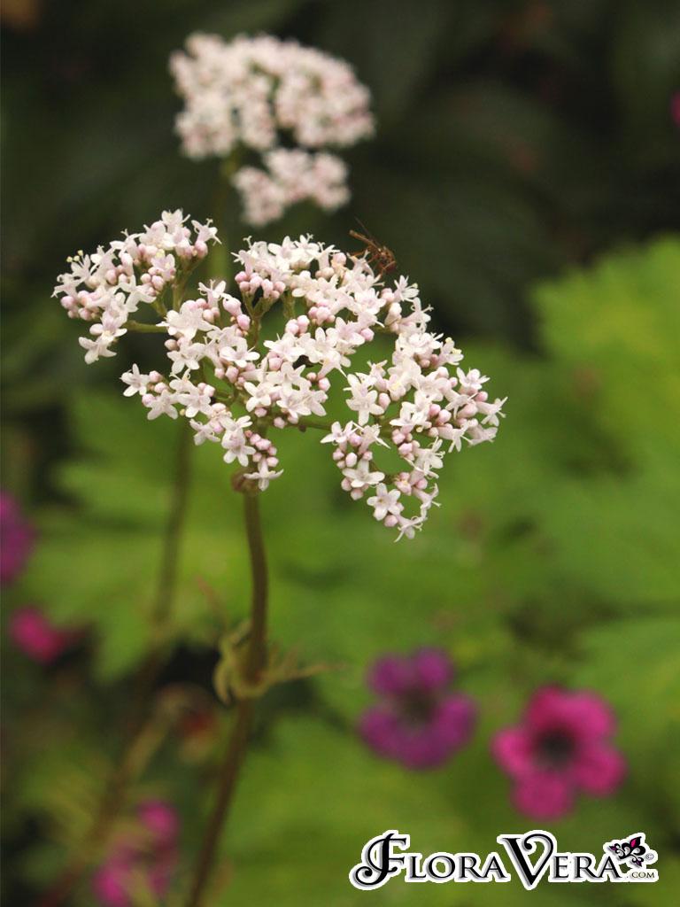 Valeriana Officinalis 171 Floravera