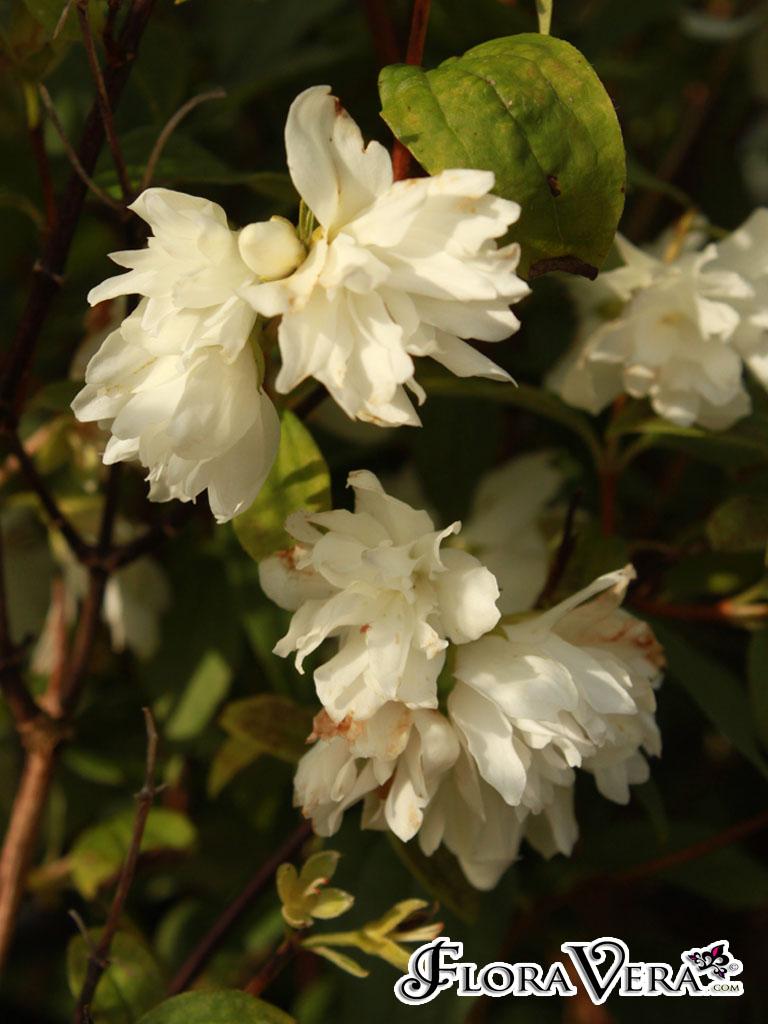 Philadelphus Sp   U00ab Floravera