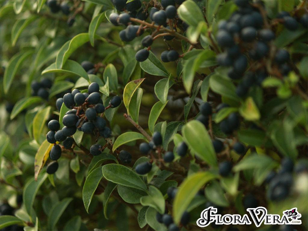 Ligustrum delavayanum Floravera
