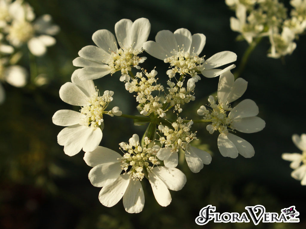 Orlaya Grandiflora 171 Floravera