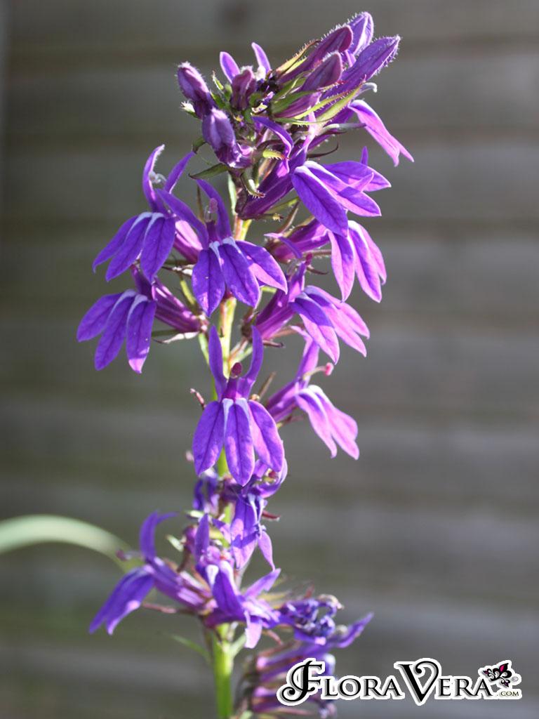 Lobelia X Speciosa Floravera