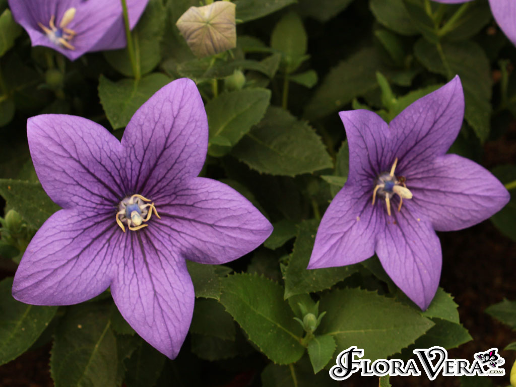 Shade Flowers Annuals