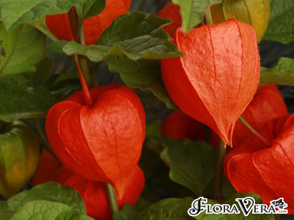 Physalis Alkekengi 171 Floravera