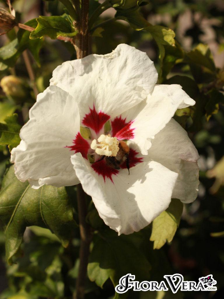 Hibiscus syriacus Floravera