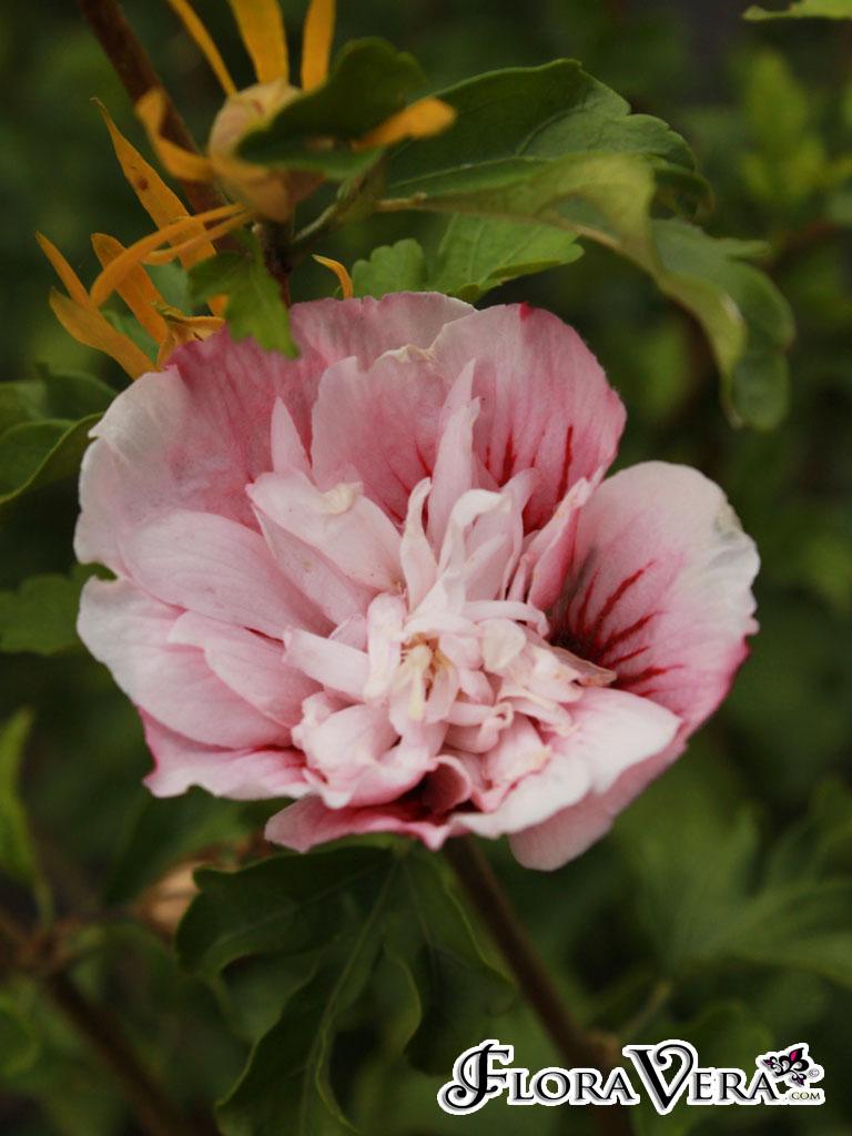 Hibiscus Syriacus 171 Floravera