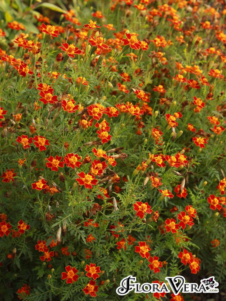 Tagetes Tenuifolia 171 Floravera